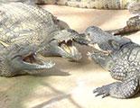 The quiz on Alligators (1-39)