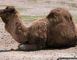 Le Quiz des chameaux