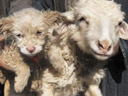 Sheep gives birth to dog in China